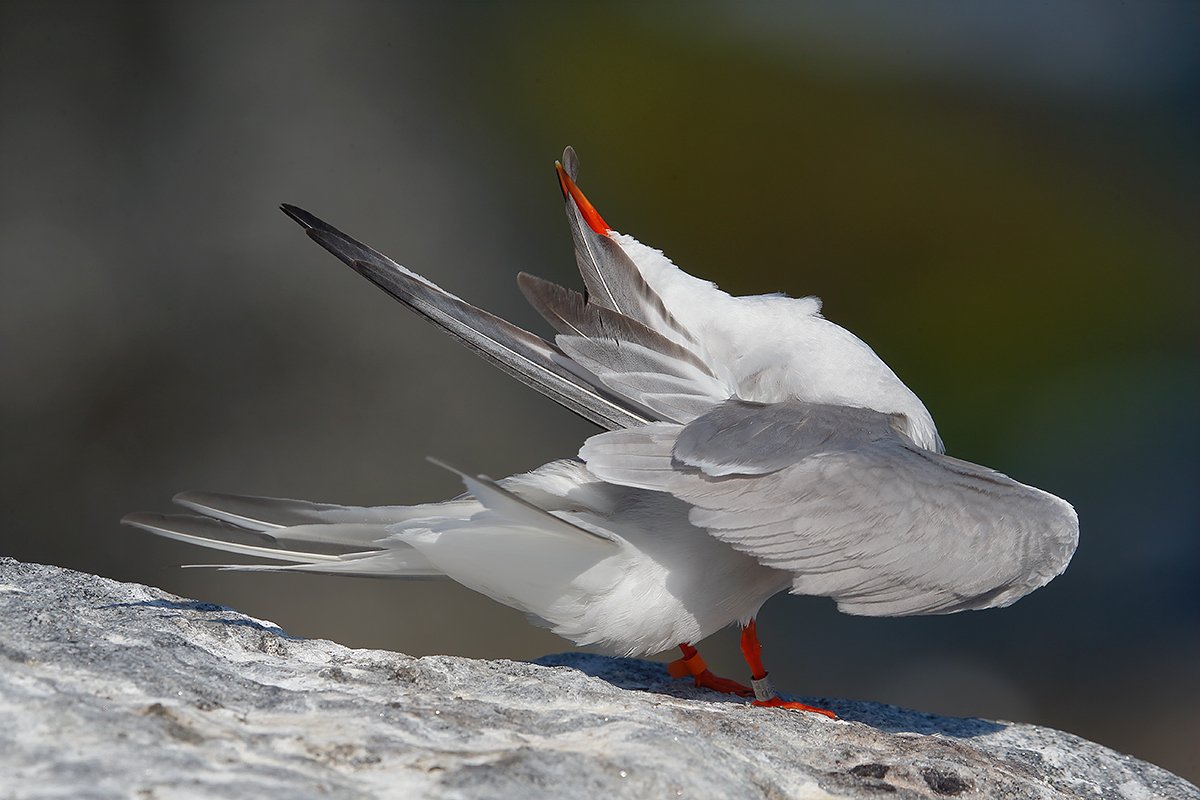 common-tern-preening-no-eye_y5o1065-great-gull-island-project-ny