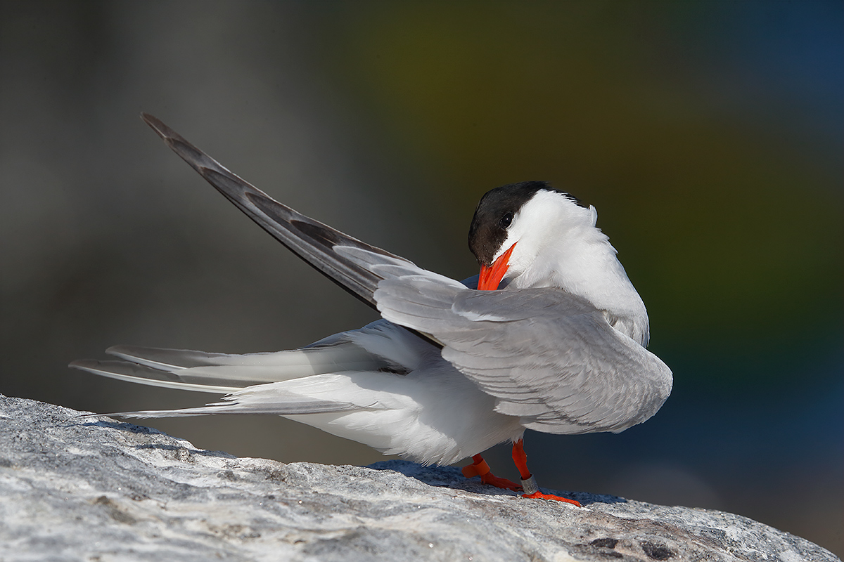 common-tern-preening-w-good-head-angle-_y5o1060-great-gull-island-project-nyE