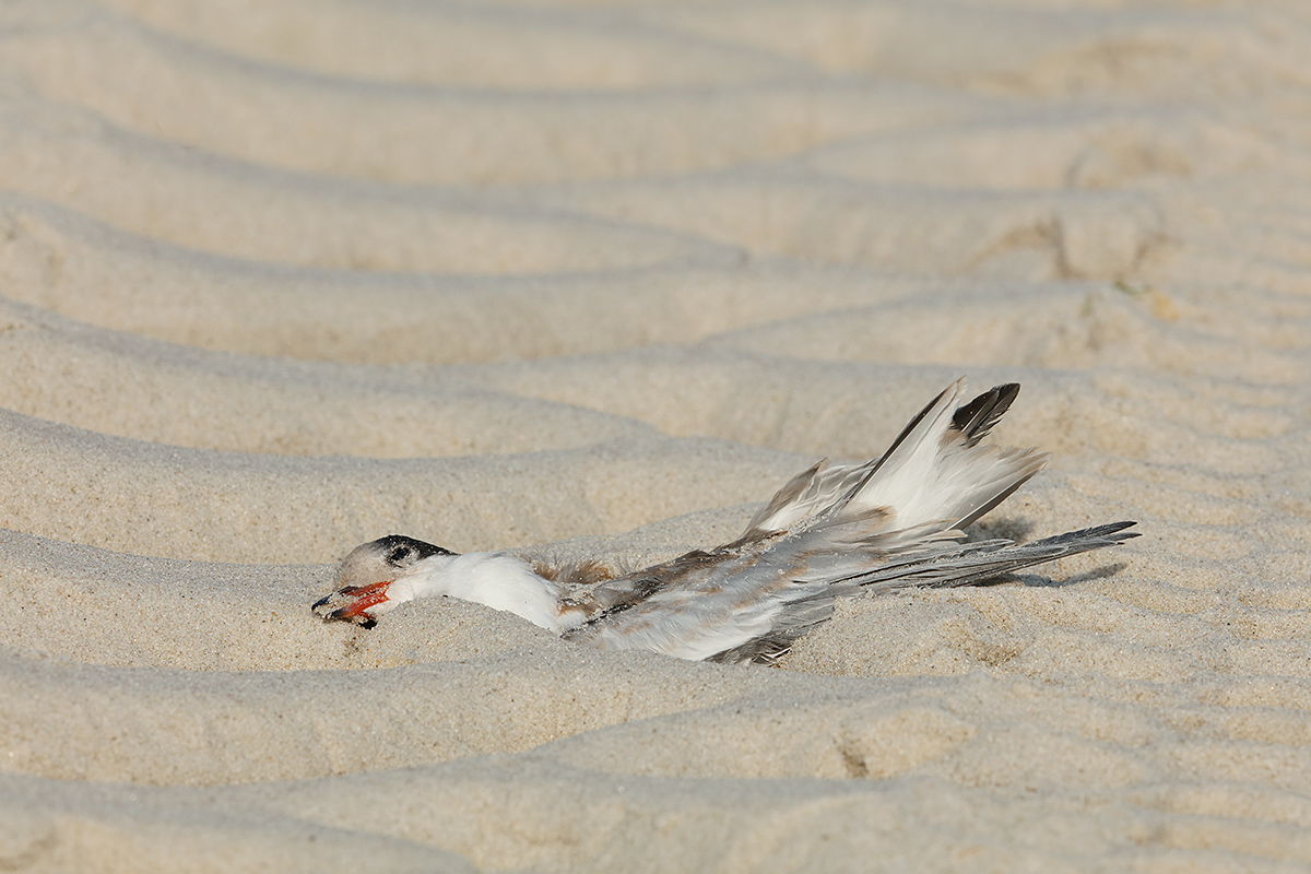 common-tern-run-over-by-large-beach-vehicle-_t0a2576-nickerson-beach-li-ny