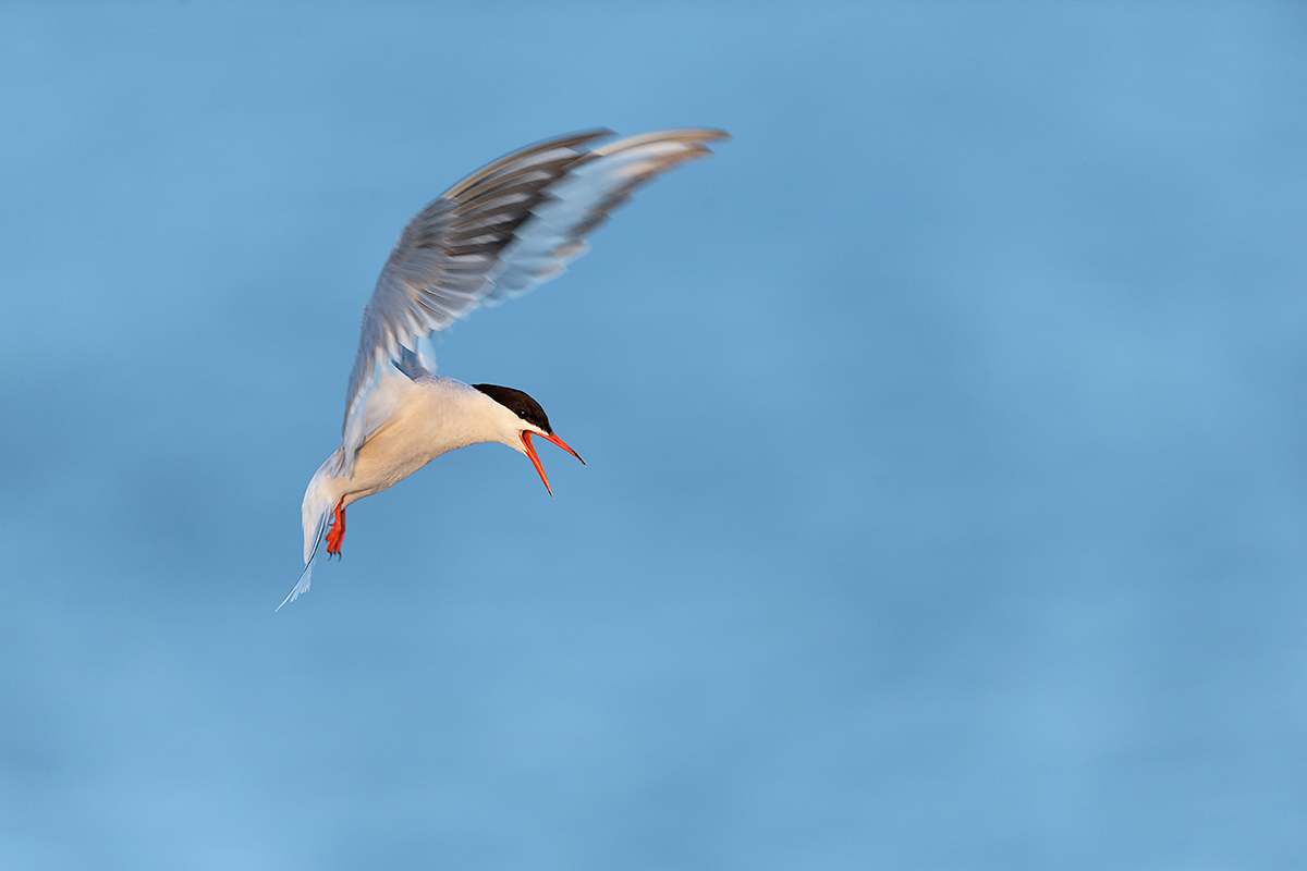 common-tern-taking-flight-_y5o3126-great-gull-island-project-ny