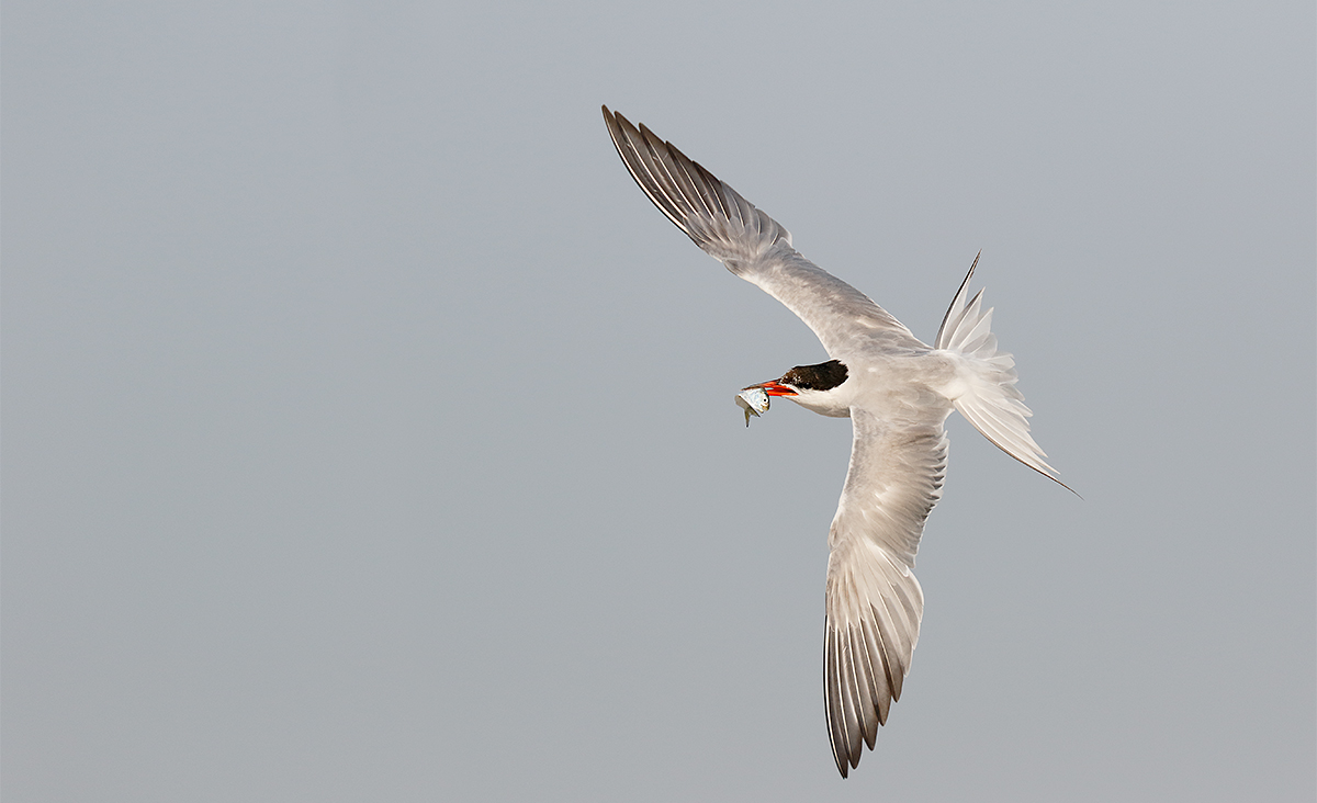 common-tern-w-bluefish-fry-for-young