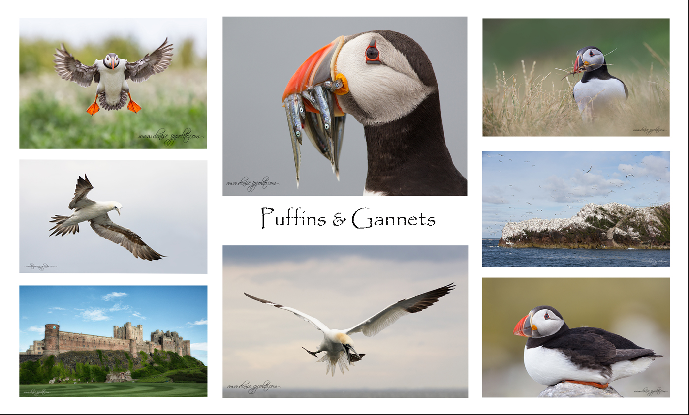 denise-puffins