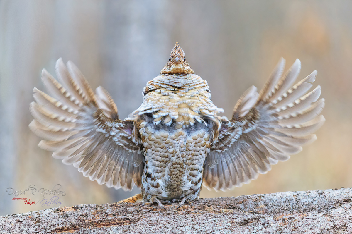 dngemruffed-grouse_0