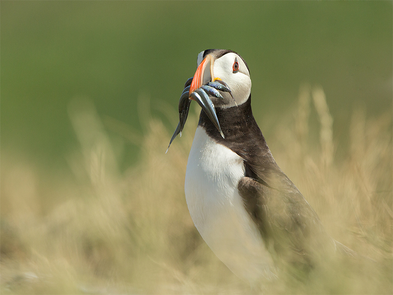 donna-puffin-snack_0
