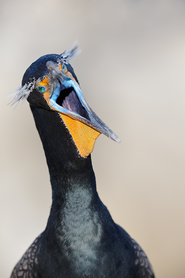 double-crested-cormorant-yawning-_y5o1642-lajolla-ca