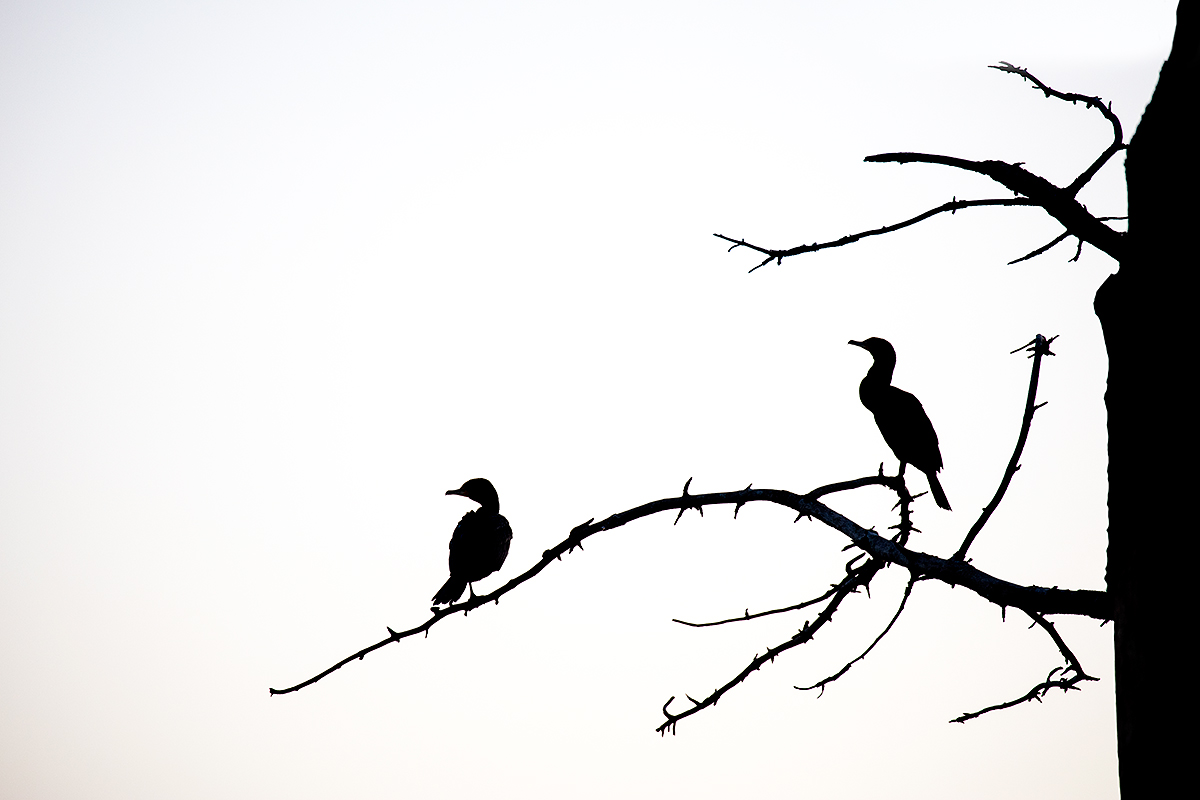 double-crested-cormorants-in-treee-pre-dawn-silh-_r7a5373-la-jolla-ca