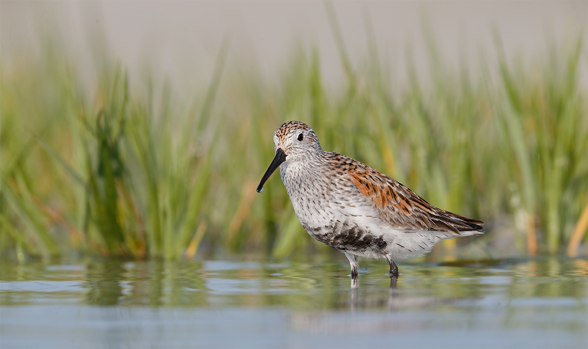 dunlin-molting-into-breeding-plumage-near-marsh-grass-_y7o5647-fort-desoto-park-fl