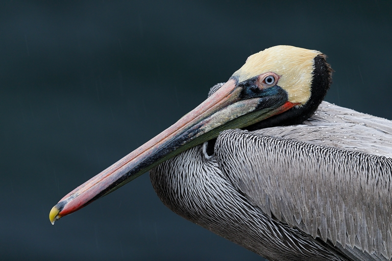 Brown-Pelican-in-rain-_W5A8964-La-Jolla,-CA