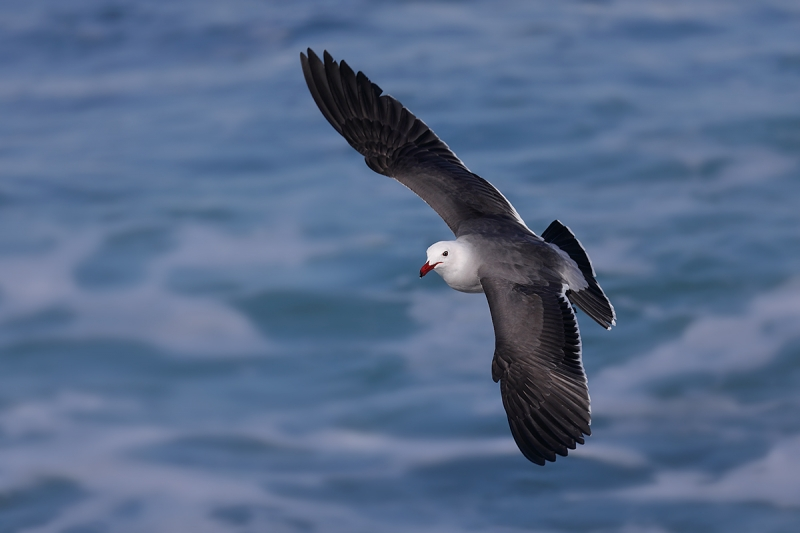 Heerman's-Gull-flight-dorsal-view-_P3A3013-La-Jolla,-CA
