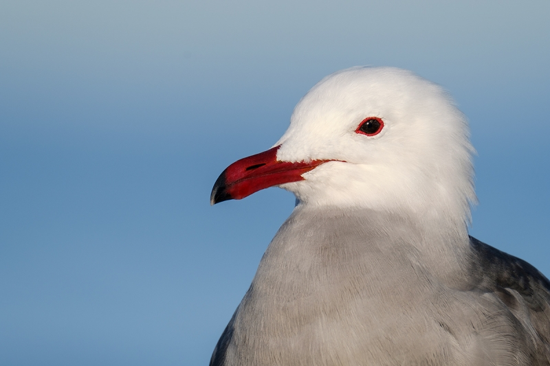 Heerman's-Gull-head-&-neck-portrait-_DSF2554-La-Jolla,-CA
