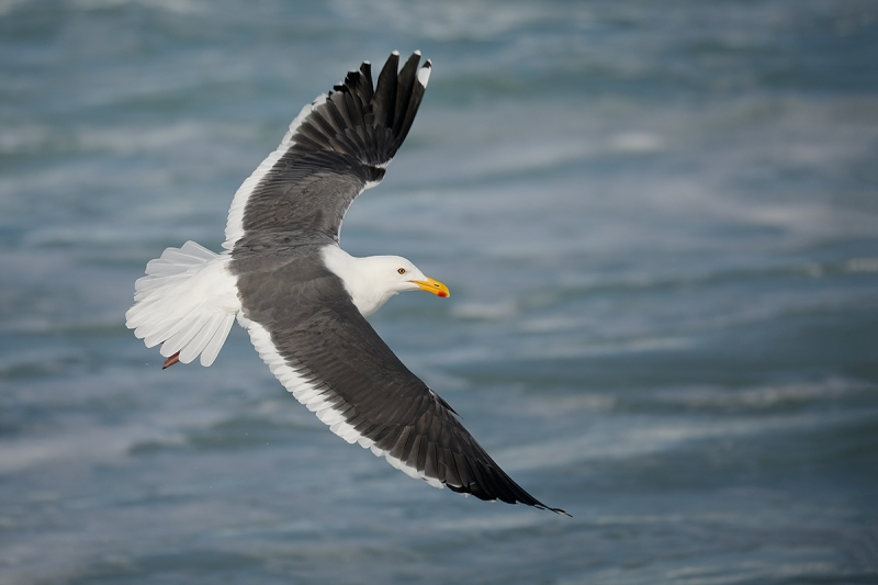 Western-Gull-adult-dorsal-view-flight-_P3A2130-La-Jolla,-CA