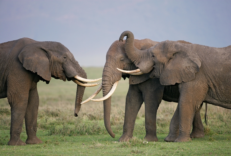 african-elephants-young-males-playing-_l8x1005-ngorongoro-crater-tanzania