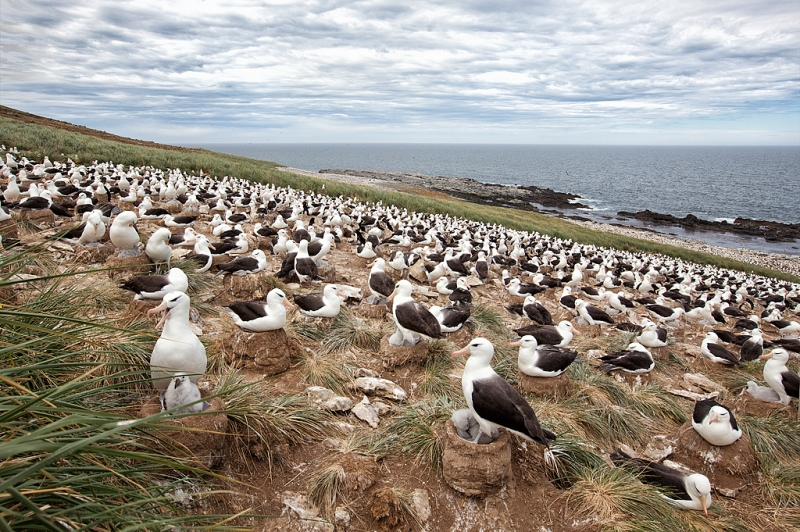 black-browed-albatorss-colony-_mg_0279-steeple-jason-island-falkland-islands