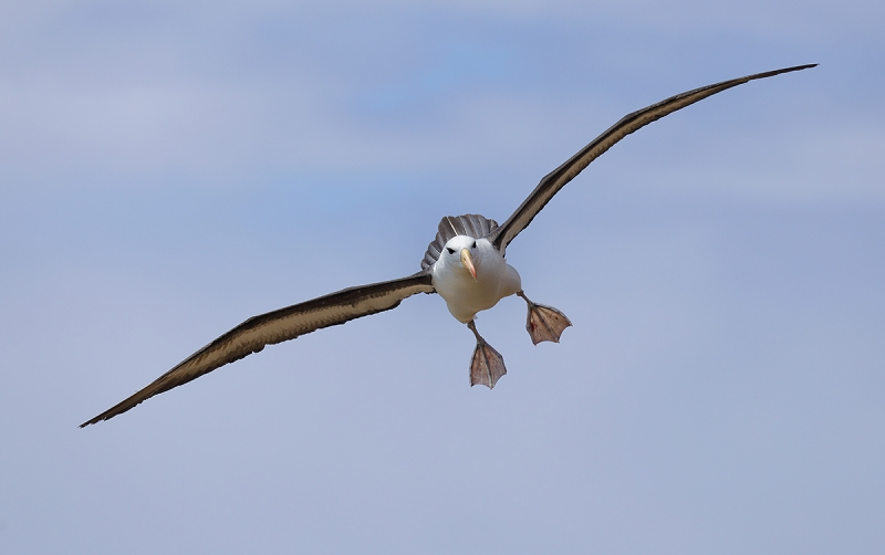 black-browed-albatross-landing-_p3a6905-saunders-island-the-neck-the-falklands