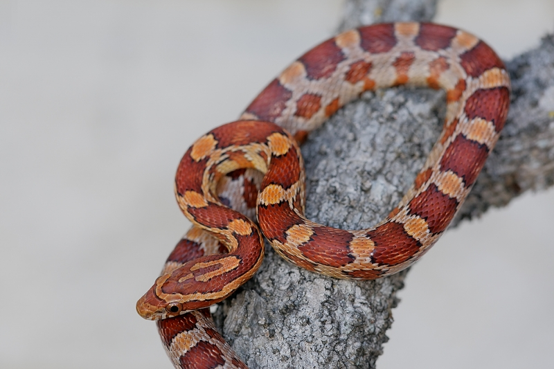 corn-snake-baby-captive-posed-_e0w8004-little-estero-lagoon-ft-myers-bch-fl