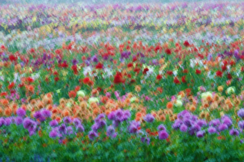 dahlia-field-wind-blur-15-sec-at-f-45-final-_a1c0991-swan-island-dahlia-farm-canby-or