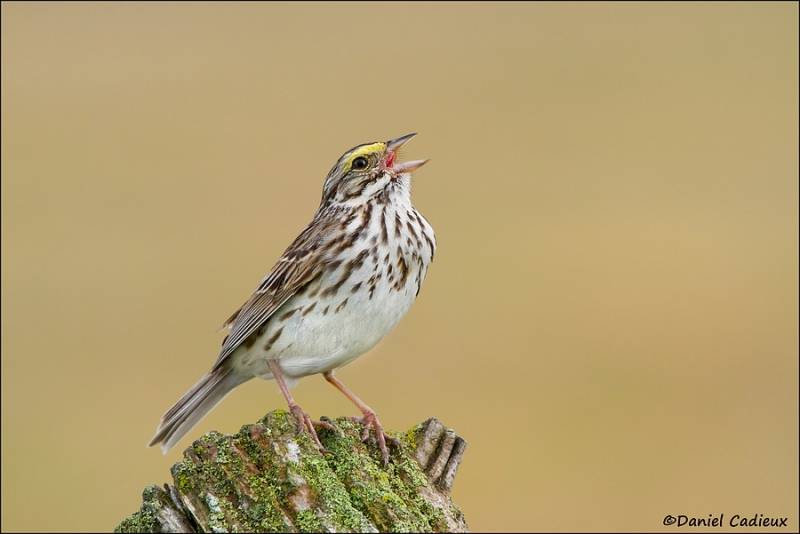 fb_savannah-sparrow_8399-1