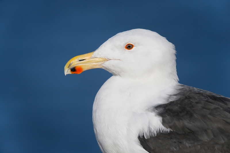 great-black-backed-gull-head-and-shoulders-in-bright-sun-_q8r0471-barnegat-jetty-nj