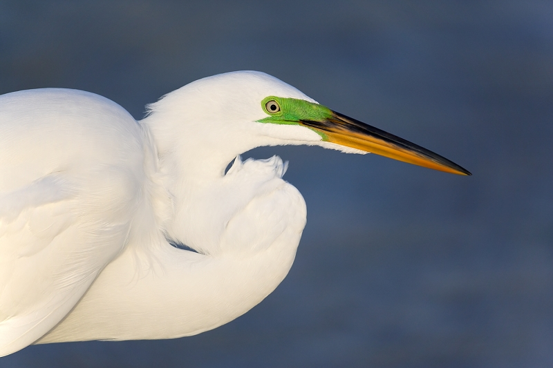 great-egret-breeding-plumage-_e0w9020-little-estero-lagoon-ft-myers-bch-fl_2