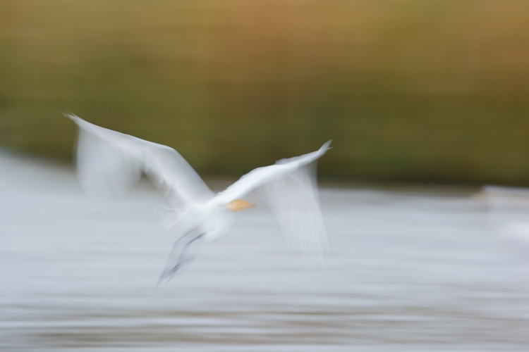 great-egret-pan-blur-_y7o2260-huntington-beach-state-park-sc