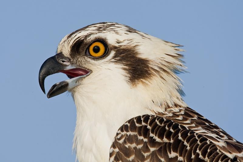 osprey-juvenile-head-w-bill-open-_10j1537-indian-lake-estates-fl