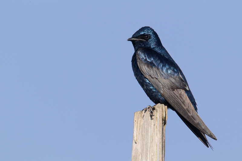 purple-marting-male-on-pilings-cyan-sky-cast-removed-_y9c4253-bay-city-or