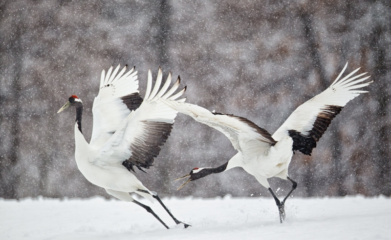 red-crowned-cranes-courtship-fighting-_90z9751-tsurui-itoh-sanctuary-hokkaido-japan