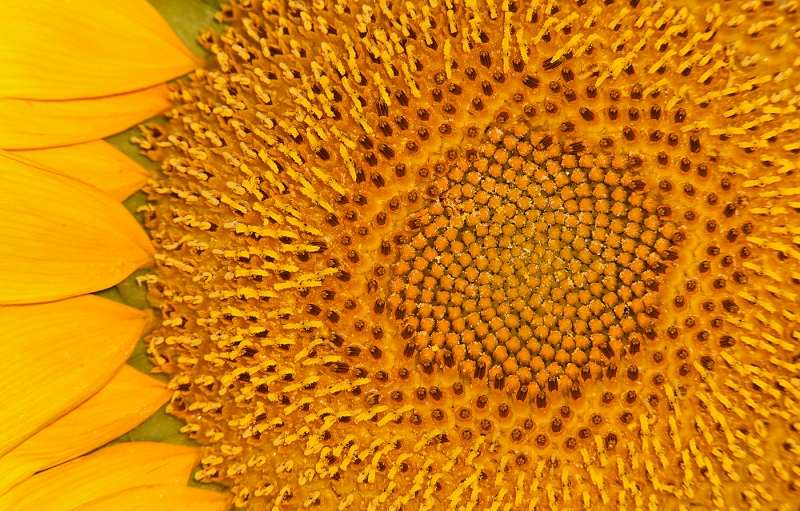 sunflower-culivated-large-_w3c7475-starr-county-tx_0