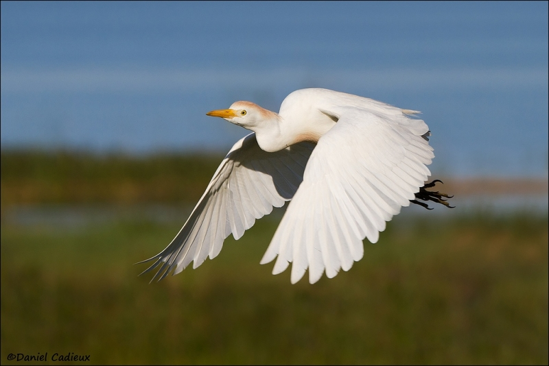 tn_cattle-egret_5717-1