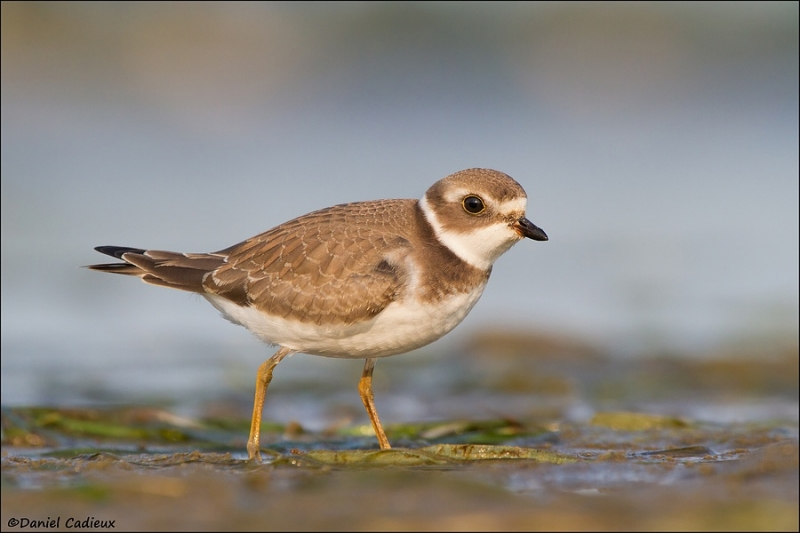 tn_semipalmated-plover_4899-1