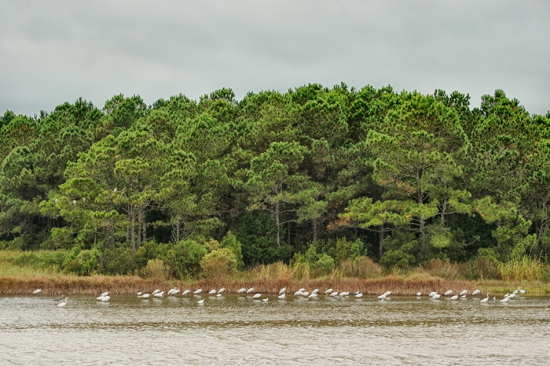 wading-birds-and-pines-_y7o2431-huntington-beach-state-park-sc