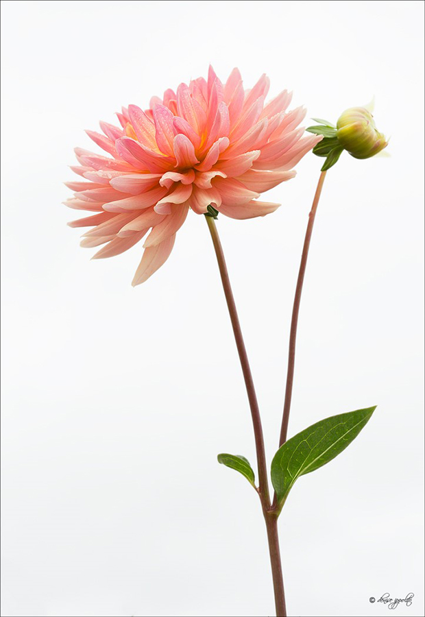 flower-guide-dahlia-botanical-print
