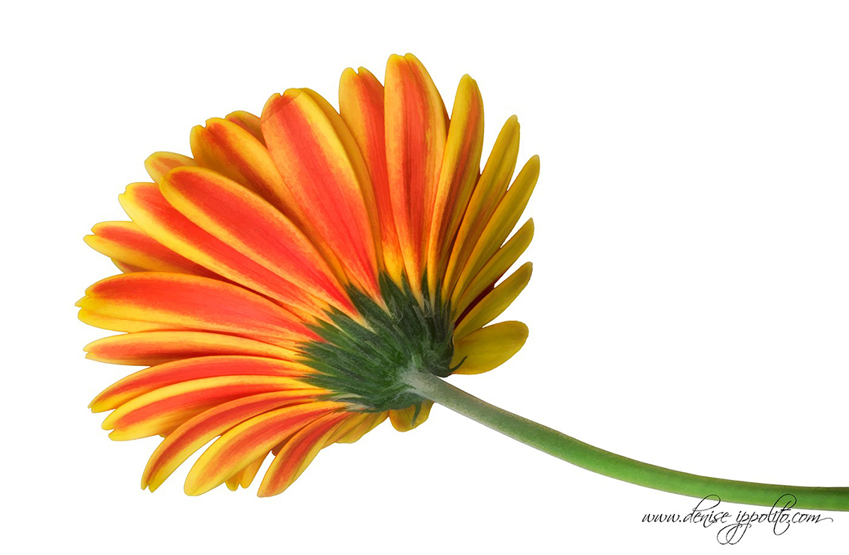 flower-guide-gerbera-daisy