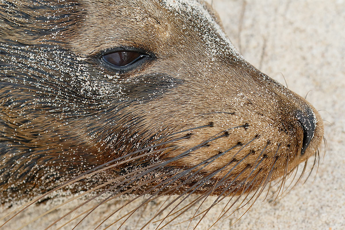 galapagos-sea-lion-face-and-whiskers-_y8a0244-sante-fe-galapagos-ecuador