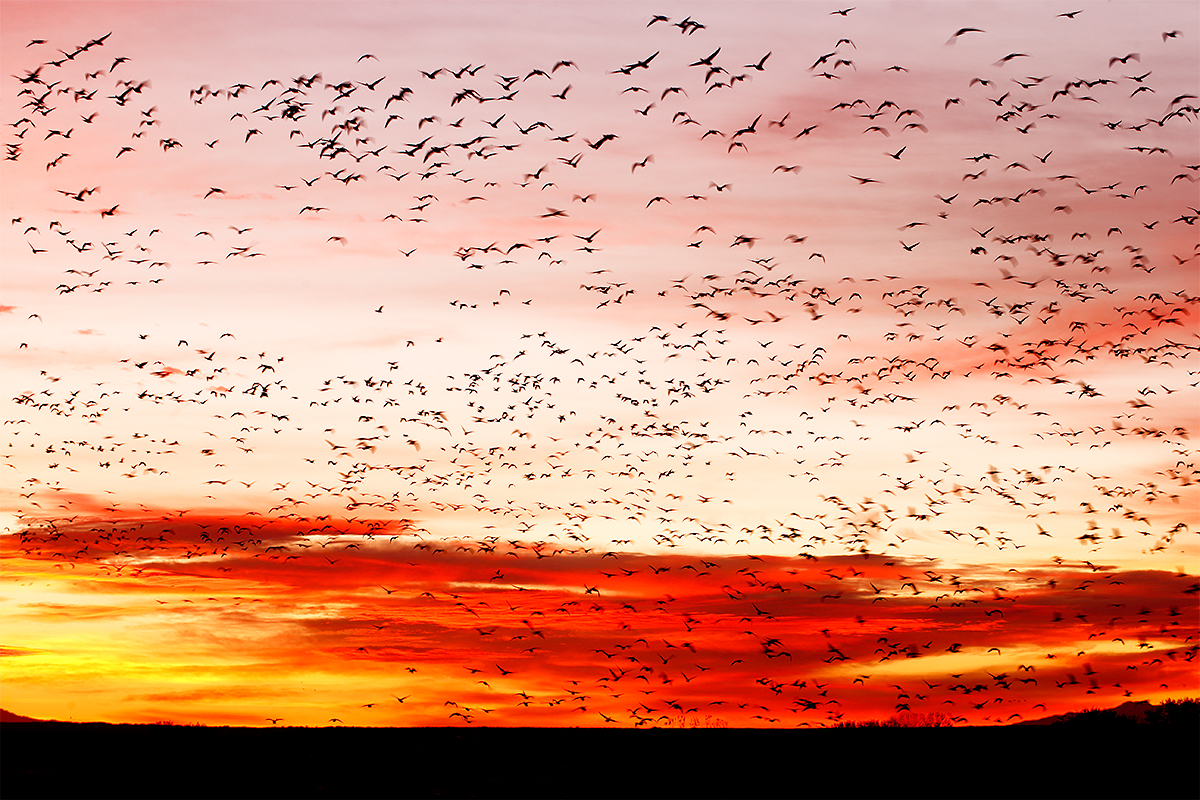 geese-fly-in-at-sunrise-_y7o0105-bosque-del-apache-nwr-san-antonio-nm