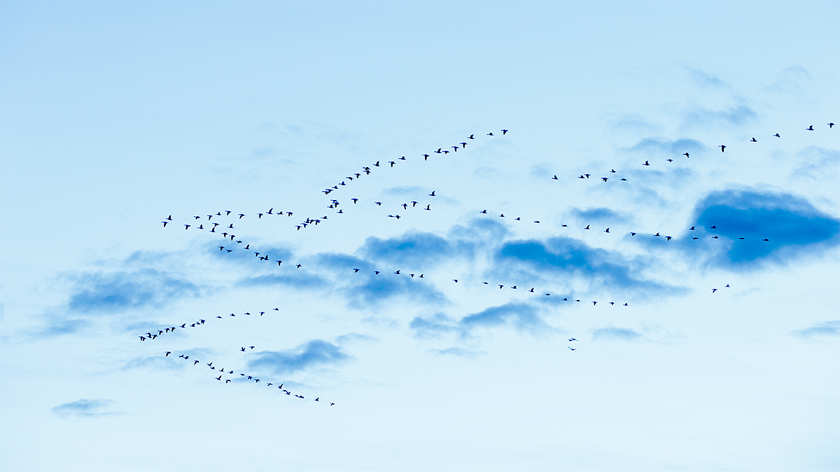 geese-skein-on-cloudy-morning-_y7o0295-bosque-del-apache-nwr-san-antonio-nm