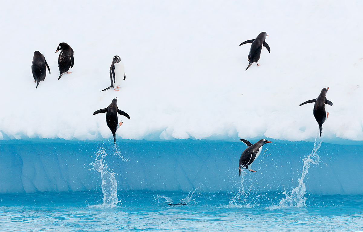 gentoo-penguins-jumping-out-of-water-y8a9885-danco-harbor-antarctica