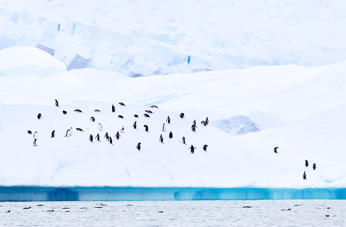 gentoo-penguins-on-ice-_y8a9771-danco-harbor-antarctica