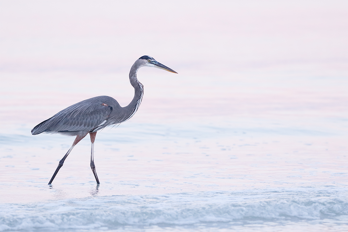 great-blue-heron-in-pink-blue-_36a1593-fort-desoto-county-park-pinellas-fl