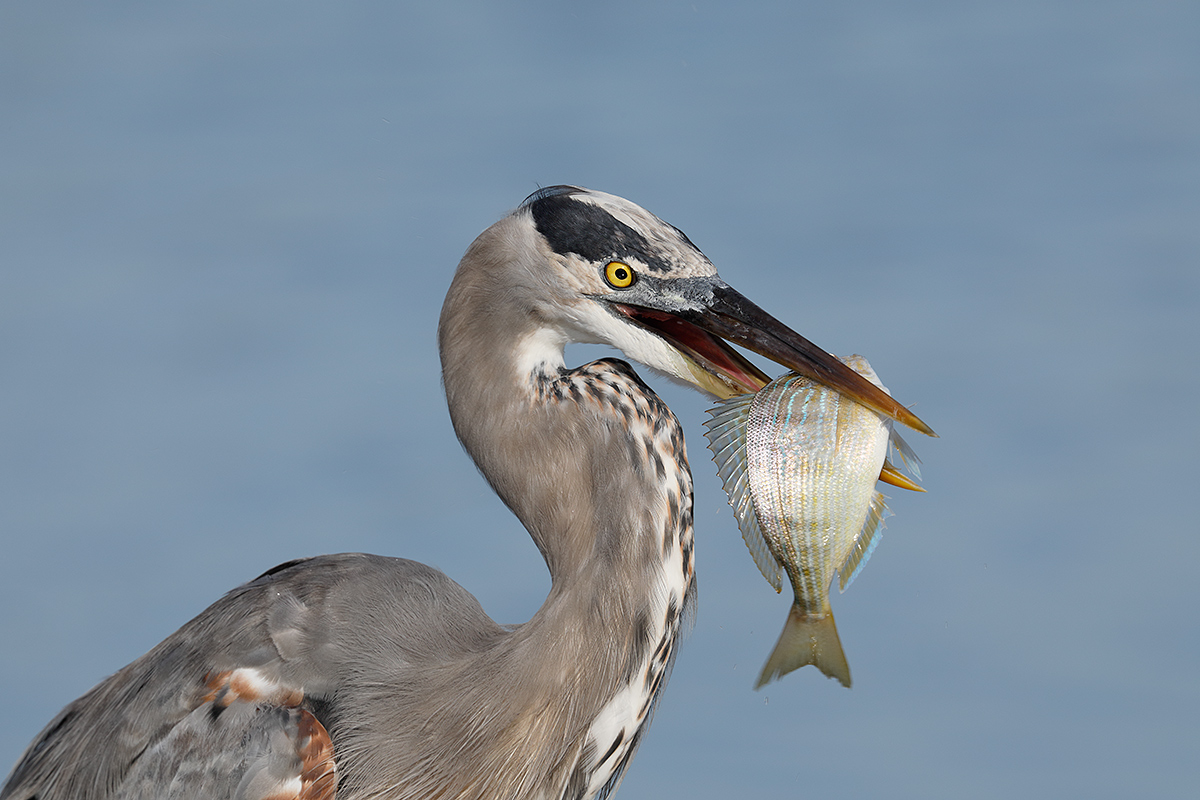 great-blue-heron-w-pinfish-_w5a7116-fort-desoto-county-park-fl