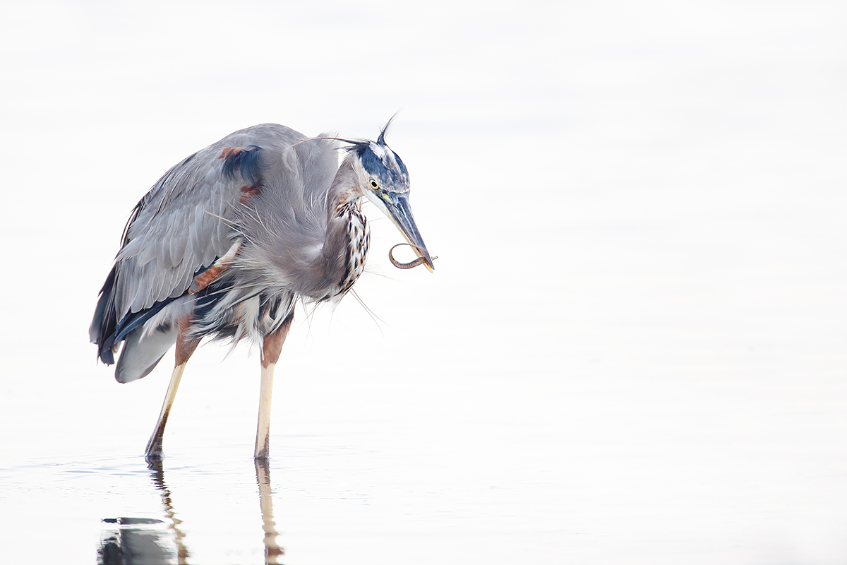 great-blue-heron-with-small-pipefish_q8r3650-fort-desoto-park-st-petersburg-fl