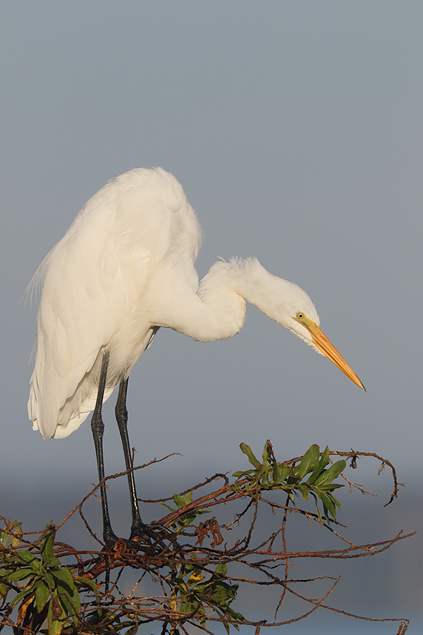 great-egret-1200mm-w-7d-ii-_36a3881-indian-lake-estates-fl