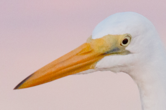 great-egret-200percent-_36a9460-fort-desoto-county-park-pinellas-fl