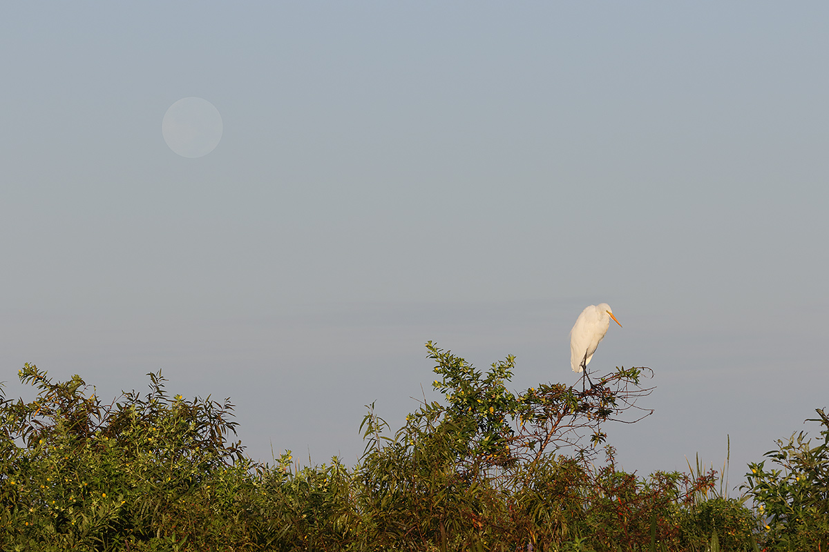 great-egret-and-full-moon-impr-_36a3869-indian-lake-estates-fl