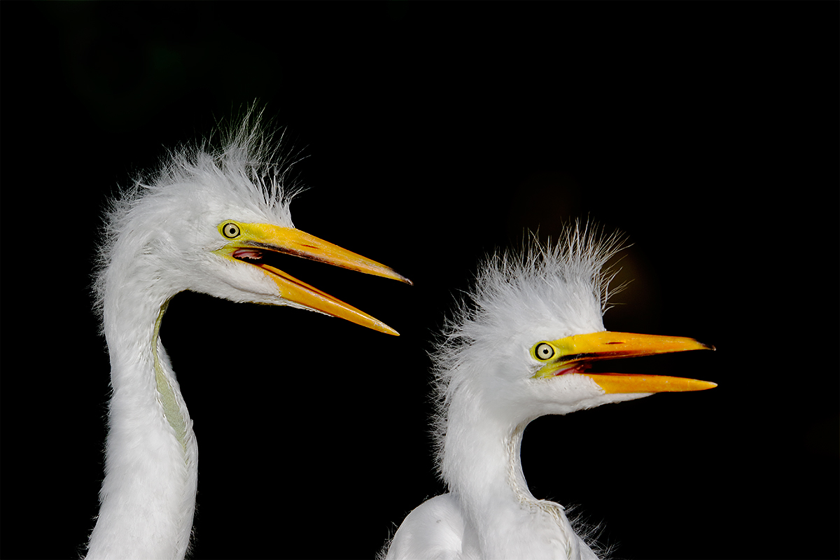 great-egret-chicks-in-nest-_y8a6345-st-augustine-alligator-farm-fl