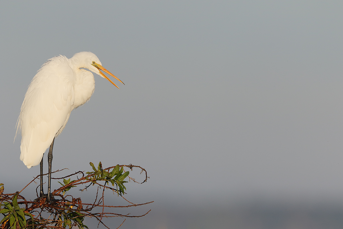 great-egret-eml-_36a3836-indian-lake-estates-fl