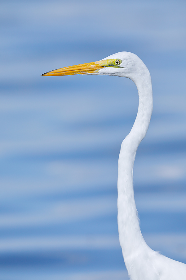 great-egret-head-and-neck-_w5a3544-fort-desoto-county-park-fl