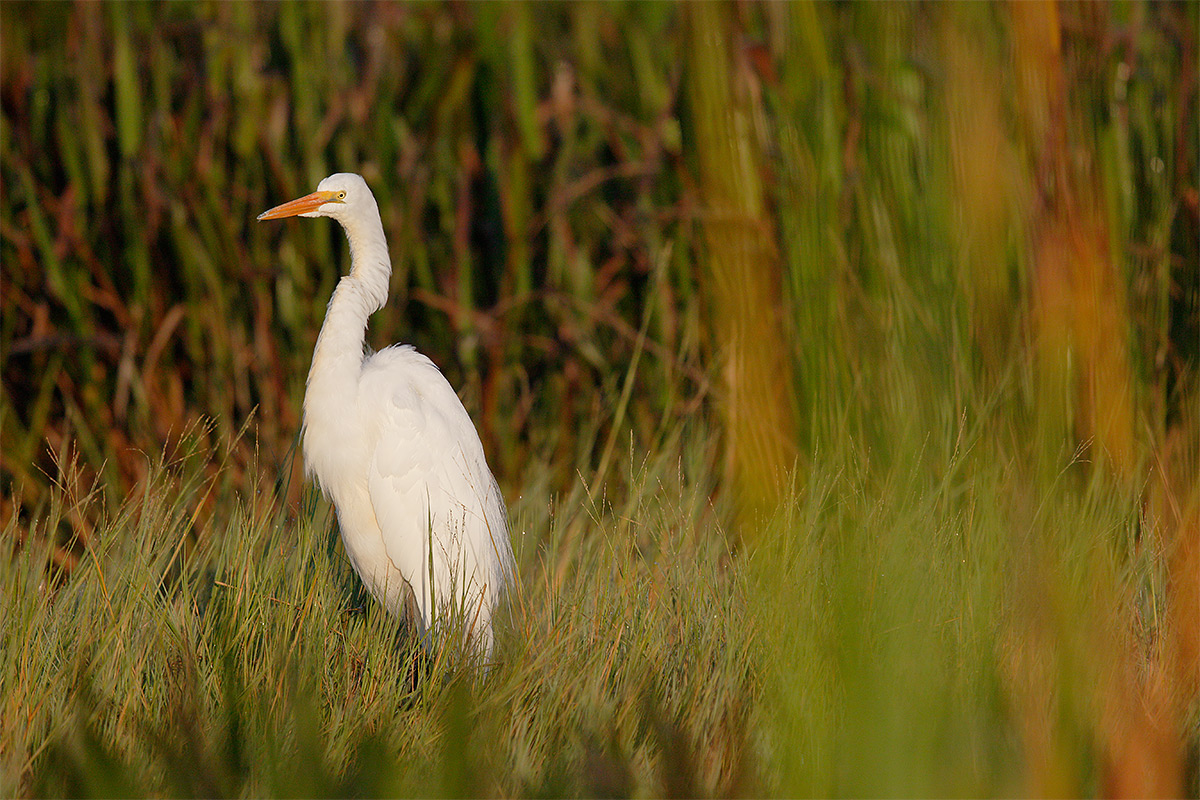 great-egret-in-marsh-_36a8456-indian-lake-estates-fl