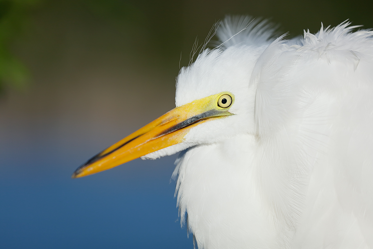 great-egret-large-chick-_t0a6086-gatorland-kissimmee-fl