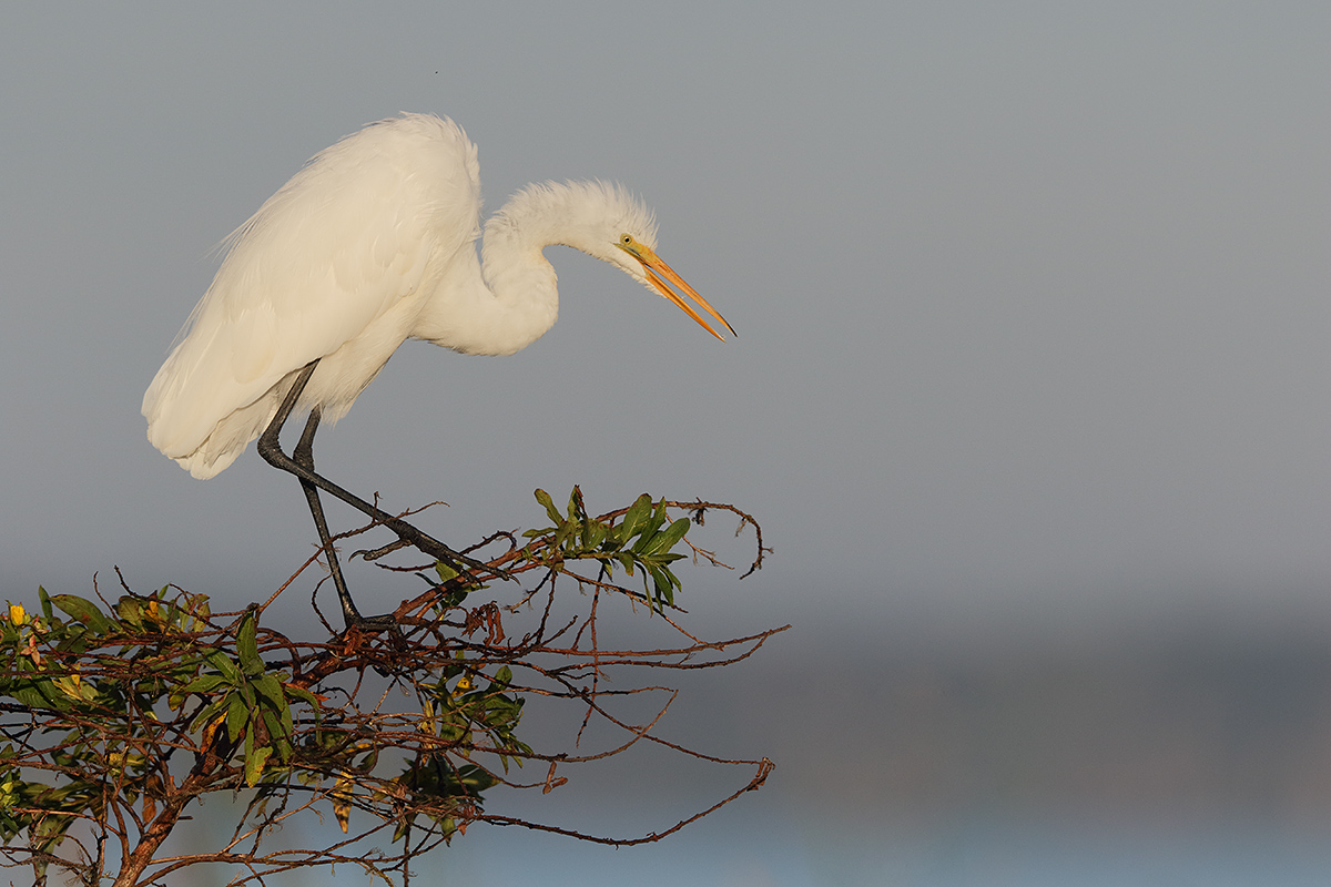 great-egret-leaning-down-_36a3845-indian-lake-estates-fl